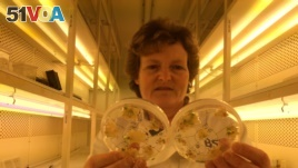 Professor Wendy Harwood in a plant breeding incubator room with barley plants that have undergone gene editing at the John Innes Centre in Norwich, Britain, May 25, 2016.