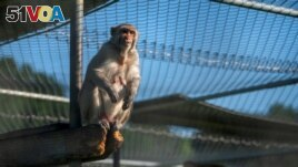 A rhesus macaque at Tulane National Primate Research Center, May 14, 2021 (REUTERS/Kathleen Flynn)