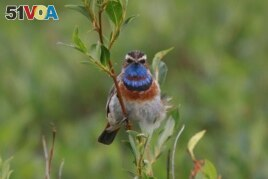 This July 7, 2016, photo provided by the U.S. Geological Survey shows a Bluethroat in Nome, Alaska.