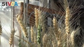 Rust-resistant wheat growing in the IGI's greenhouse has had the gene that made it susceptible to the fungal disease removed with CRISPR.