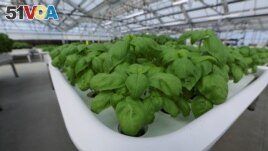 Genovese Basil plants sit in a module in the Iron Ox greenhouse in Gilroy, California, U.S. on September 15, 2021. Picture taken September 15, 2021. REUTERS/Nathan Frandino