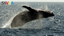 A humpback whale jumps out of the water off the coast of Lahaina on the island of Maui in Hawaii. (AP Photo/Reed Saxon, file)