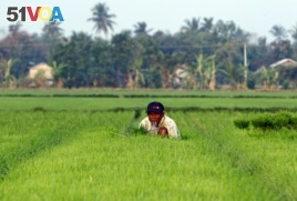 A farmer works in a rice field in Naypyitaw, Myanmar, March 2, 2018.