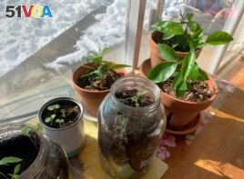 You can grow transplants by a sunny window. Here, vegetable and fruit seeds grow in pots, jars and cans inside a home in upstate New York, Feb. 8, 2021. (AP Photo/Julia Rubin)