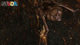 A vampire bat is seen roosting inside a tree in Tole, Panama.