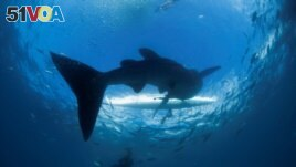 FILE - A scuba diver swims near a whale shark as it approaches a paddleboat off the beach of Tan-awan, Oslob, in the southern Philippines island of Cebu, March 1 2013. (REUTERS/David Loh/File Photo)