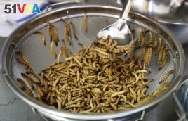 Mealworms are cleaned and sorted before being cooked at restaurant in San Francisco, California, Feb. 18, 2015. (AP Photo)