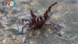 An undated and handout photo received from The Australian Reptile Park March 24, 2021, shows a deadly funnel web spider.