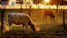 Cows graze in an enclosure near Frankfurt, Germany, as the sun rises for a sunny warm summer day on Sunday, Aug. 11, 2019. (AP Photo/Michael Probst)