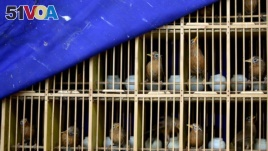 FILE - Seized wild birds are seen inside a cage. (REUTERS/Stringer)