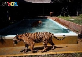 Tigers gather by a pool at their confinement cage in Tiger Kingdom zoo, as Phuket gets ready to open its doors to overseas tourists from July 1 allowing fully vaccinated foreigners to visit the resort island without quarantine, Phuket, Thailand June 28, 2021. (REUTERS/Jorge Silva)