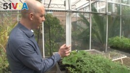 This scientist, Rob Dunn, looks for unwanted insects in a greenhouse at North Carolina State University. (S. Baragona/VOA)