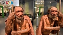 A reconstruction of a Homo neanderthalensis, commonly known as Neanderthals. Neanderthals lived within Eurasia from around 400,000 until 40,000 years ago. Shown at the Neanderthal Museum in Mettmann, Germany, located at the site of the first Neanderthal man discovery, Wednesday, July 3, 2019.