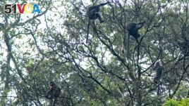 Silvery gibbons (Hylobates moloch), also known as the Javan gibbons, are pictured sitting on a tree in the Petungkriono forest in Pekalongan, Central Java, Indonesia, September 19, 2021. (REUTERS/Stringer)