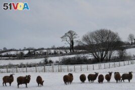 Black sheep are seen in the snow in Hillsborough, Northern Ireland