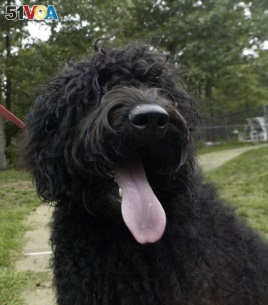 This Sept. 28, 2004 file photo shows Mira, a young Labradoodle, at the home of Angela Urban in Barnegat, N.J. (AP Photo/Mary Godleski, FILE)