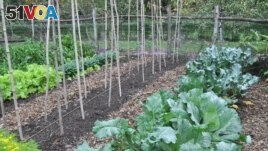 This undated image shows a garden with cabbage and other seasonal greens in New Paltz, New York. Cool weather brings out the best flavor from vegetables such as kale, broccoli, and carrots. (AP Photo/Lee Reich)