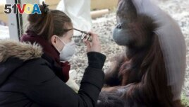 In this Monday, Feb. 8, 2021, file photo, a visitor with a mask observes an orangutan in an enclosure at the Schoenbrunn Zoo in Vienna, Austria. (AP Photo/Ronald Zak, File)