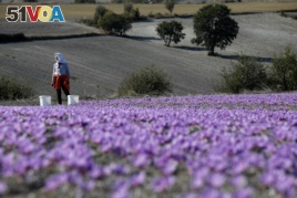 Evangelia Patsioura pauses as she harvests saffron flowers at her family's field in the town of Krokos, Greece, October 27, 2018. (REUTERS/Alkis Konstantinidis)