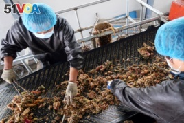 Workers sort kitchen waste to feed cockroaches at a waste processing facility of Shandong Qiaobin Agriculture Technology on the outskirts of Jinan, Shandong province, China October 17, 2018. Picture taken October 17, 2018. REUTERS/Thomas Suen