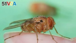 Tiny Fly May Hold Key to New Generation of Hearing Aids