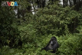 FILE - In this Sept. 2, 2019, file photo, a silverback mountain gorilla named Segasira sits among plants in the Volcanoes National Park, Rwanda.