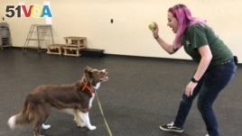 In this May 7, 2019 photo, student trainer Samantha Springstead works with Finn, a border collie at the State University of New York, Cobleskill, in Cobleskill, N.Y. (AP Photo/Mary Esch)
