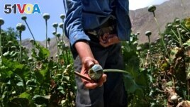 Opium poppy in Afghanistan.