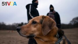 Harvest plays off-leash during designated free-roaming hours in Brooklyn's Prospect Park. (AP Photo/John Minchillo)