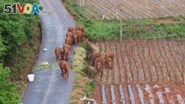 In this photo taken June 4, 2021 and released by Yunnan Forest Fire Brigade, a migrating herd of elephants roam through farmlands of Shuanghe Township, Jinning District of Kunming city in southwestern China's Yunnan Province. (Yunnan Forest Fire Brigade via AP)