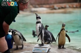 A penguin reacts with a zookeeper as it stands on weighing scales at the London Zoo, August 23, 2018. (AP Photo)