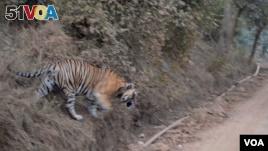 India Battles Shrinking Tiger Habitat