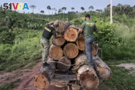 In this March 10, 2018 photo released by Ibama, the Brazilian Environmental and Renewable Natural Resources Institute, agents from Ibama measure illegally cut timber from Cachoeira Seca indigenous land in Para state in Brazil's Amazon basin.