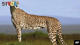 Is Cheetah Fast Enough to Survive?
