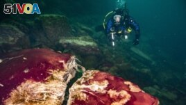 In this photo provided by the NOAA Thunder Bay National Marine Sanctuary a scuba diver observes the purple, white and green microbes covering rocks in Lake Huron's Middle Island Sinkhole. (Phil Hartmeyer/NOAA Thunder Bay National Marine Sanctuary via AP)