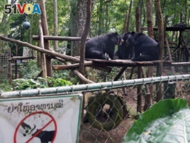 Three Asiatic black bears play at the Free the Bears Fund rescue center in Kuangxi Waterfalls Park near Luang Prabang in northern Laos, August 2017. Credit: RFA