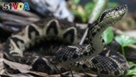 A jararacussu snake, whose venom is used in a study against the coronavirus disease (COVID-19), is seen at Butantan Institute in Sao Paulo, Brazil August 27, 2021. (REUTERS/Carla Carniel/File Photo)