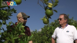 Fred Gmitter, a geneticist at the University of Florida Citrus Research and Education Center, right, visits a citrus grower in an orange grove affected by citrus greening disease in Fort Meade, Fla., on Sept. 27, 2018
