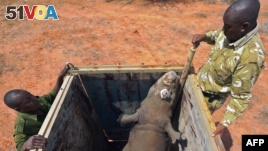 FILE - Rangers stand next to a black rhino about to be released out of a capture crate at the Sera Community Rhino Sanctuary in Samburu county, some 350 km north of the capital, Nairobi, May 20, 2015. A female black rhino also was transferred in May of 2015. A baby black rhino was born in Kenya in March.