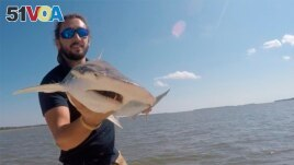 Scientist Bryan Keller holds a bonnethead shark. Keller is among a group of scientists that found sharks use the Earth's magnetic field as a sort of natural GPS. This permits them to swim across great distances in the world's oceans. (Photo courtesy Bryan Keller via AP)