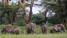 Elephants are seen within the Kimana Sanctuary, part of a crucial wildlife corridor that links the Amboseli National Park to the Chyulu Hills and Tsavo protected areas, within the Amboseli ecosystem in Kimana, Kenya February 8, 2021. (REUTERS/Thomas Mukoya)