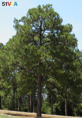 A Mature Longleaf Pine