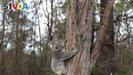 FILE - A rescued koala named Ernie climbs up a tree as he is released back into his natural habitat, following medical treatment for chlamydia, where he had to have one of his eyes removed, in Grose Vale, Sydney, Australia, July 25, 2020.