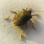 The Asian stink bug